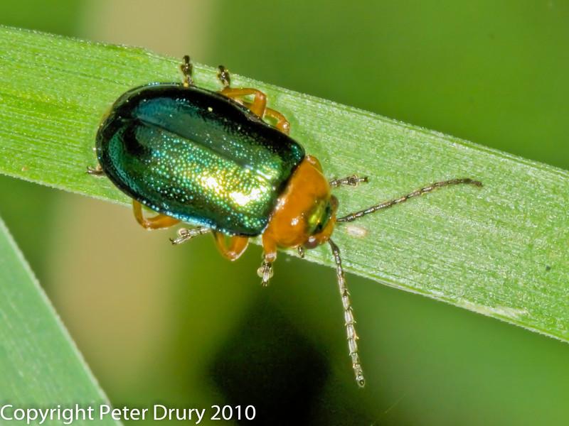 Sermylassa halensis. Copyright Peter Drury 2010
