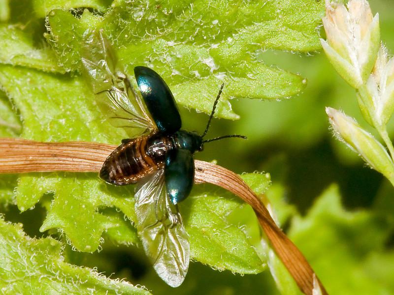 Leaf Beetle (Phyllotreta nigripes). Copyright 2009 Peter Drury