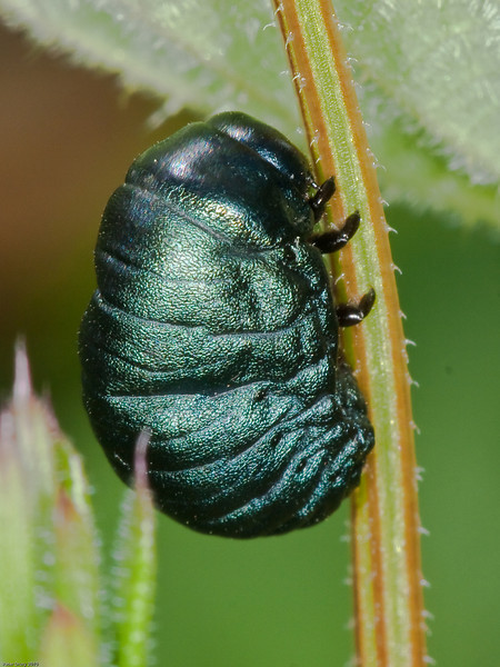 Bloody-nosed Beetle (Timarcha tenebricosa) Larvae. Copyright Peter Drury 2010<br /> To give this larvae scale, it is climbing up the stem of nettle.