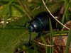 Bloody-nosed Beetle (Timarcha tenebricosa). Copyright Peter Drury 2010