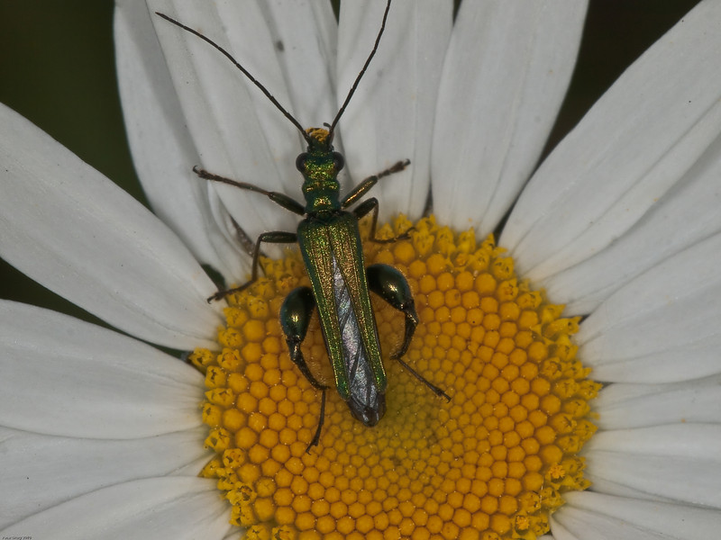 Thick-kneed Flower Beetle (Oedemera nobilis) - male. Copyright Peter Drury 2010