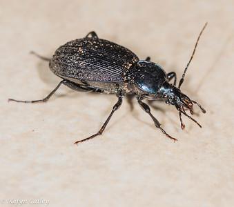 COLEOPTERA: Carabidae: Sphaeroderus canadensis, snail eating carabid
