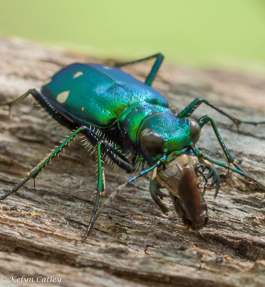 COLEOPTERA: Carabidae: Cicindela sexguttata, six spotted green tiger beetle eating small carabid