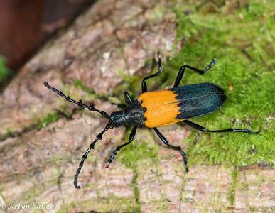 COLEOPTERA: Cerambycidae: Elderberry borer Desmocerus palliatus