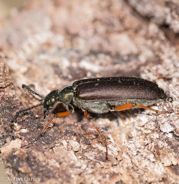 COLEOPETRA: Meloidae: Lytta aenea, blister beetle