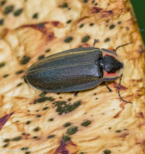 COLEOPTERA: Lampyridae: Ellychnia corrusca, winter firefly