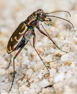 COLEOPTERA: Carabidae: Cicindela repanda repanda, bronzed tiger beetle