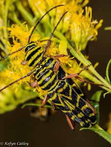 COLEOPTERA: Cerambycidae: (longhorn beetles) Megacyllene robinia, locust borer