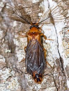 COLEOPTERA: Phengodidae: Phengodes plumosa male, glowworm