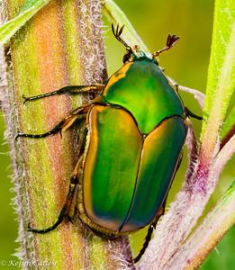 COLEOPTERA: Scarabaeidae: Cotinis nitida, green june bug