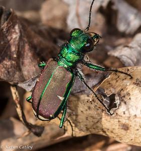 COLEOPTERA: Carabidae: Cicindela splendida, splendid tiger beetle