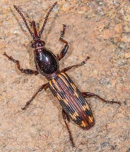 COLEOPTERA: Brentidae (straight-snouted weevils), Arrenodes minutus, oak timberworm
