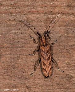 Cerambycidae: alder borer, Saperda obliqua