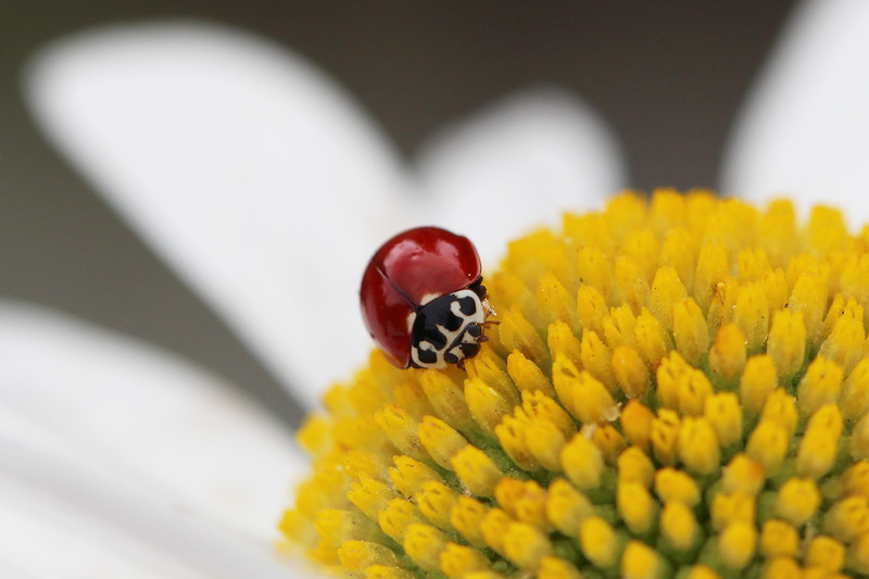 Western Blood-Red Lady Beetle (Cycloneda polita)