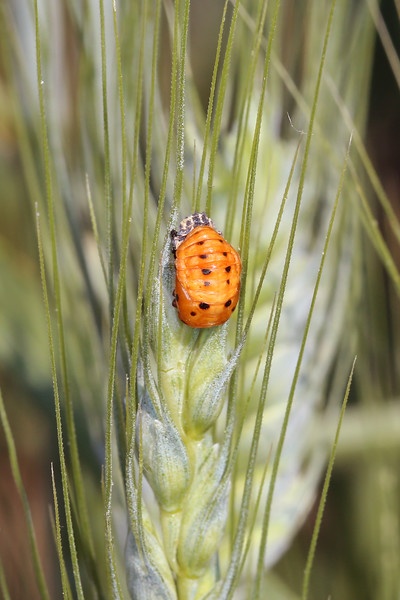 Lady Beetle Pupa (Coccinellidae)