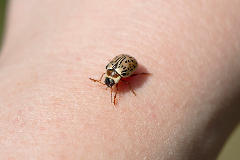 Leaf Beetle (Calligrapha)