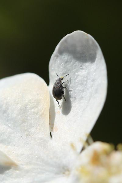 Seed Beetle (Bruchinae)
