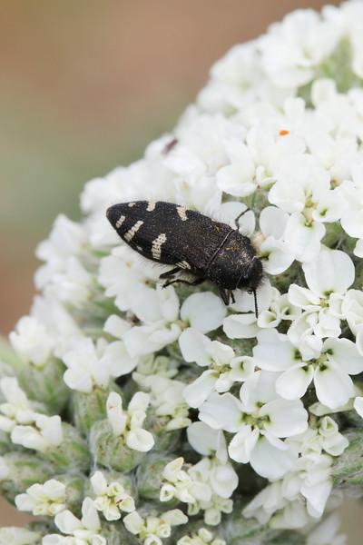 Spotted Flower Buprestid (Acmaeodera)