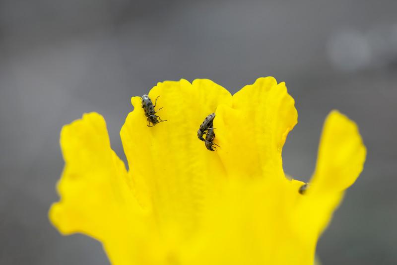 Soft-winged Flower Beetle (Listrus senilis)