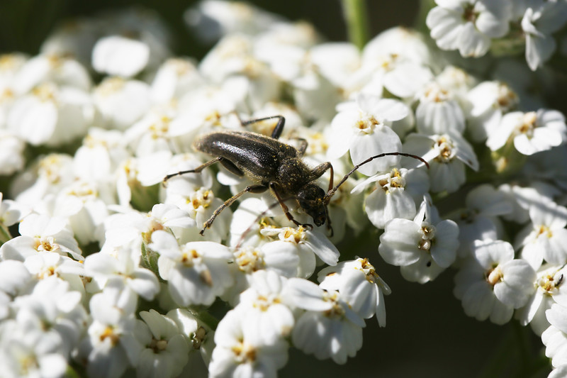 Flower Longhorn Beetle (Lepturinae)