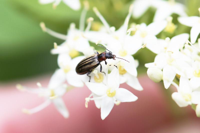 Ravenous Leaf Beetle (Orsodacne atra)