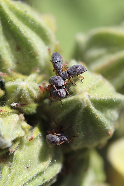 Hollyhock Weevil (Rhopalapion longirostre)