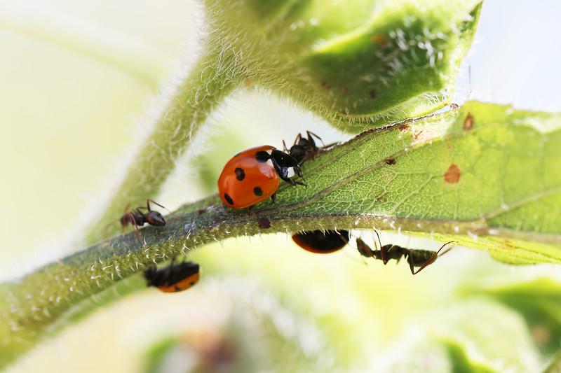 Seven-spot Lady Beetle (Coccinella septempunctata)
