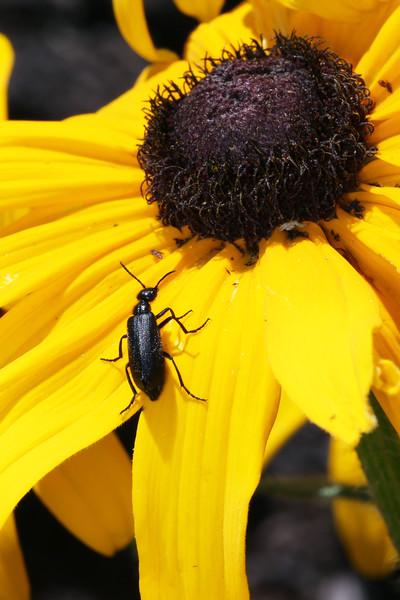 Blister Beetle (Meloidae)