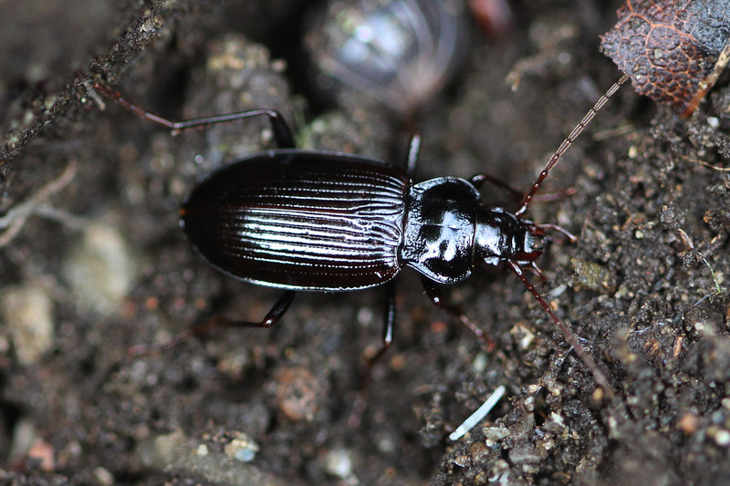 Ground Beetle (Carabidae)