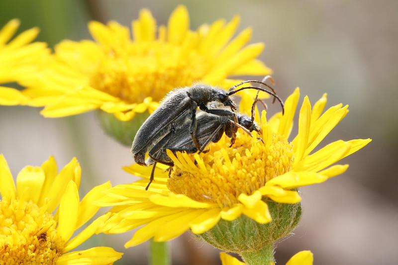 Flower Longhorn Beetles Mating (Lepturinae)