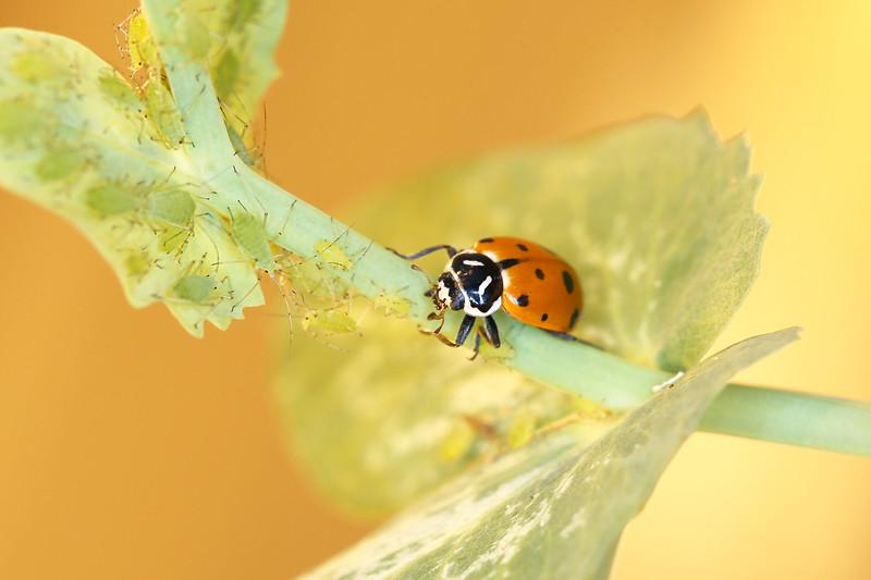 Convergent Lady Beetle (Hippodamia convergens)