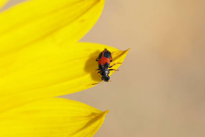 Checkered Beetle (Cleridae)