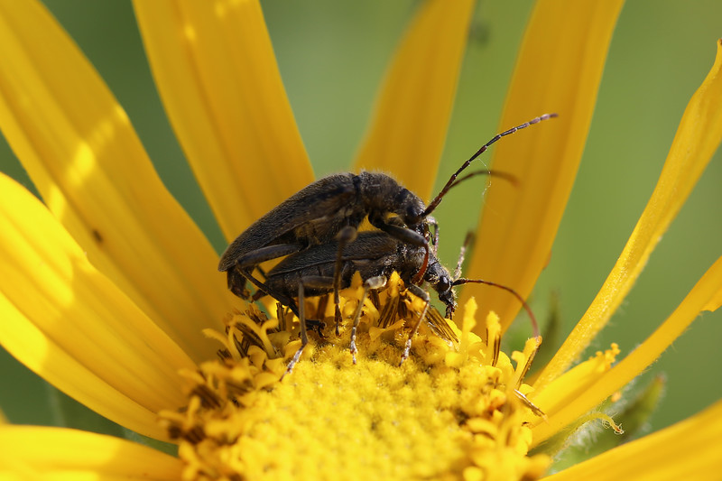 Flower Longhorn Beetles Mating (Lepturinae)