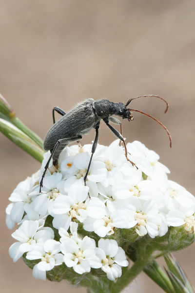Flower Longhorn Ovipositing (Lepturinae)