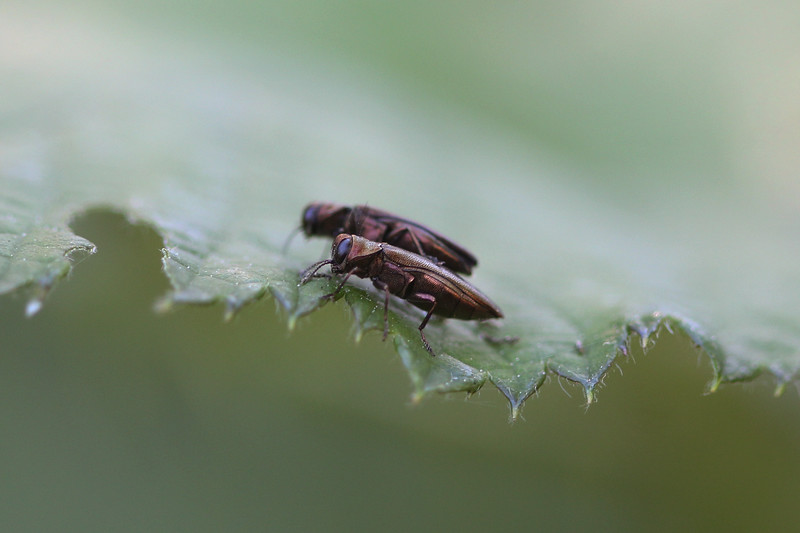 Rose Stem Girdlers (Agrilus cuprescens)