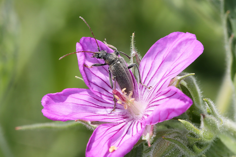Flower Longhorn Beetle (Lepturinae)