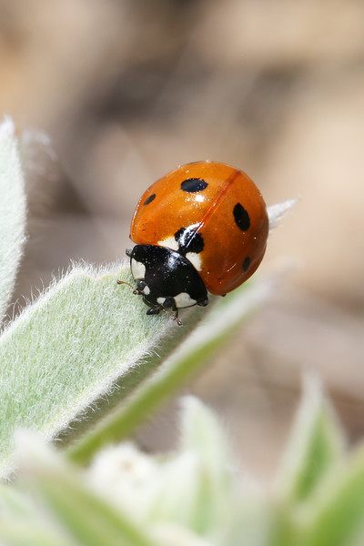 Seven-Spotted Lady Beetle (Coccinella septempunctata)
