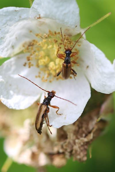 Flower Longhorn Beetle (Cortodera longicornis)