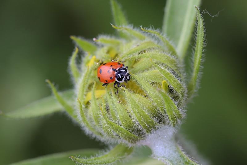 Convergent Flower Beetle (Hippodamia convergens)