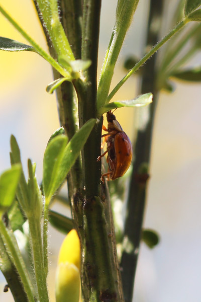 Unidentified Lady Beetle (Coccinellidae)