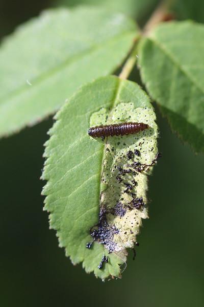 Leaf Beetle Larva (Chrysomelidae)