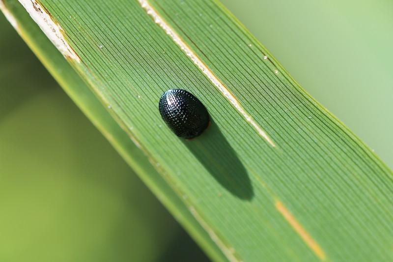 Palmetto Tortoise Beetle (Hemisphaerota cyanea)
