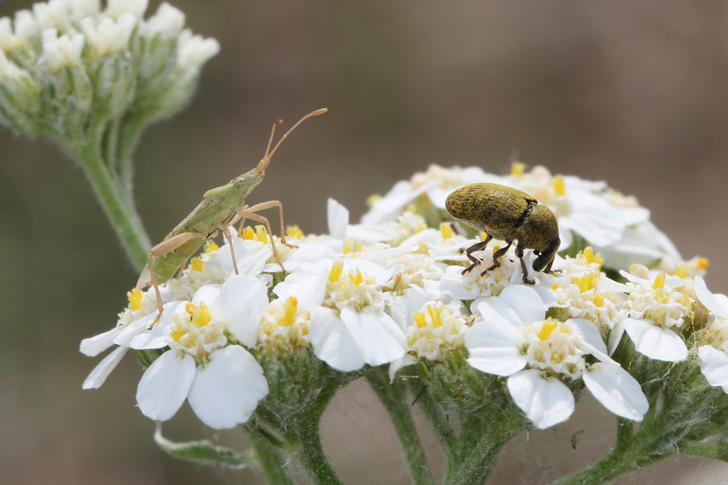 Unidentified Weevil (Curculionidae) and Scentless Plant Bug (Rhopalidae)