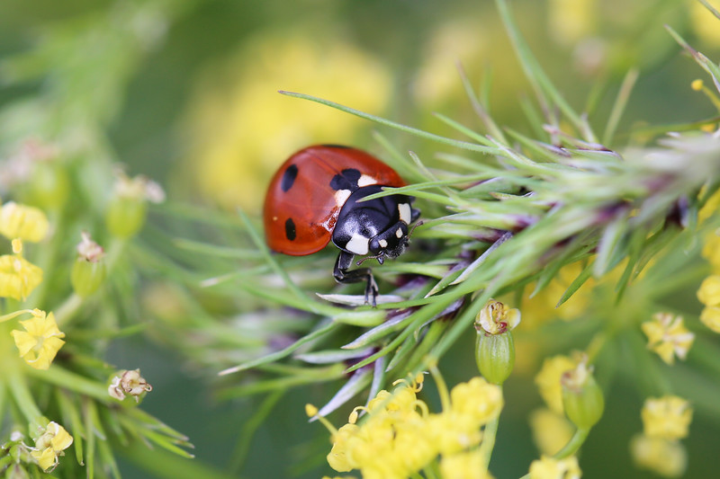 Seven Spotted Lady Beetle (Coccinella septempunctata)