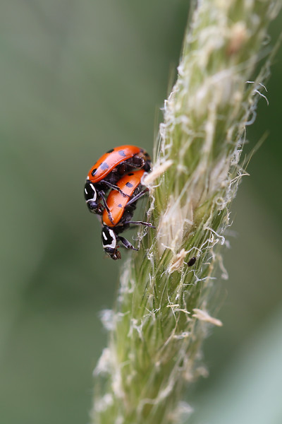 Convergent Lady Beetles Mating (Hippodamia convergens)