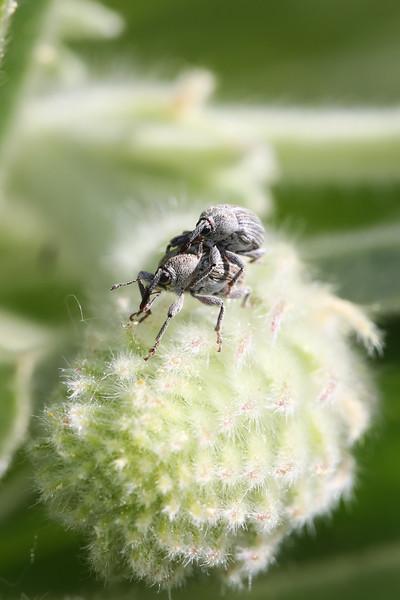 Unidentified Weevils Mating (Curculionidae)