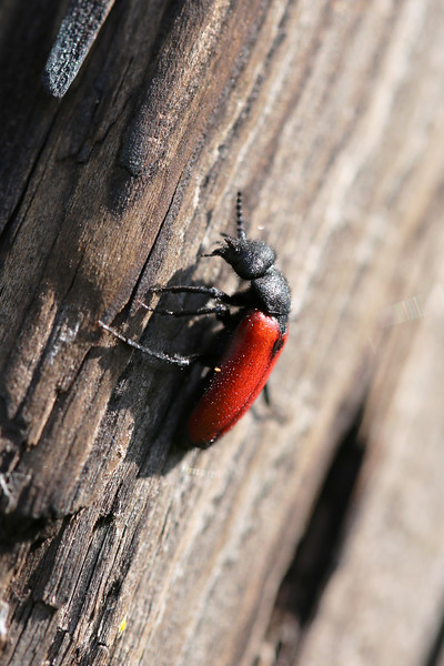Blister Beetle (Tricrania stansburyi)