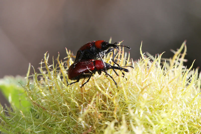 Leaf-Rolling Weevils Mating (Attelabinae)