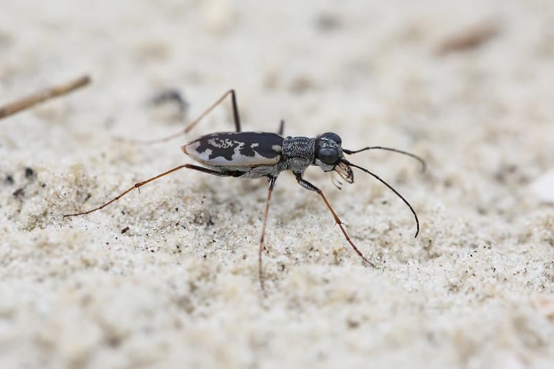 Tiger Beetle (Cicindelinae)