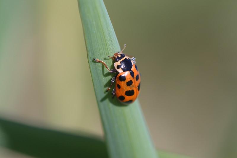 Thirteen-spotted Lady Beetle (Hippodamia tredecimpunctata)